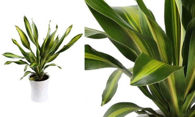 dracena-plantas-ambientes-fechados