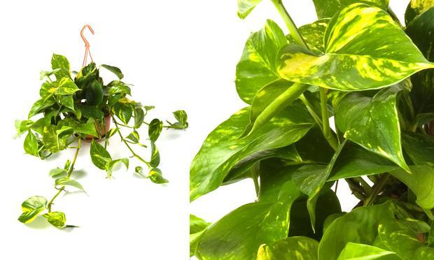 jiboia-plantas-ambientes-fechados (1)