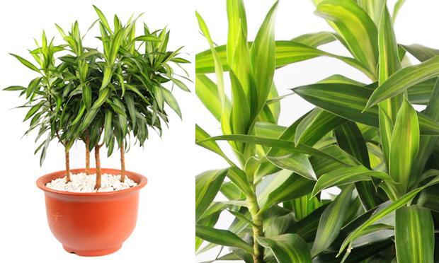 pleomele--plantas-ambientes-fechados