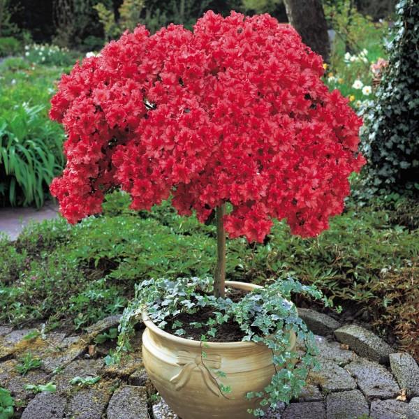 azaleia-vermelha-1024x1024