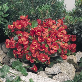 begonia-semperflorens-super-olympia-red-c2440-1