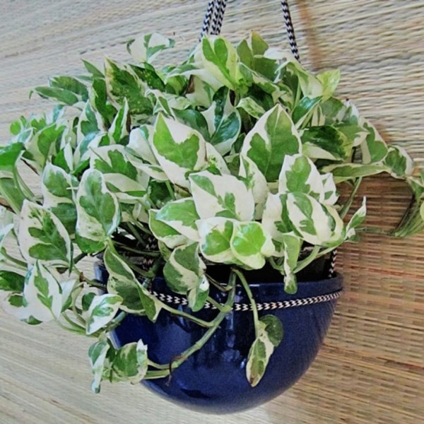 large_Pothos-in-Blue-Dome-hanging.jpg-4_edited